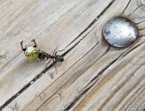 Ant vs. Junebug